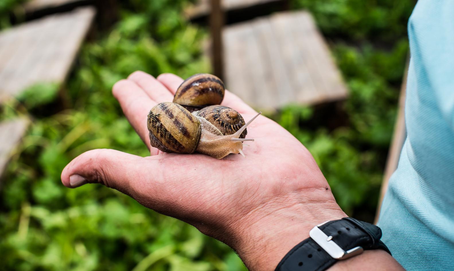 равликові ферми на прикарпатті